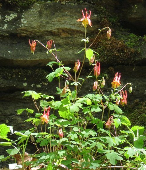9. Native Columbine