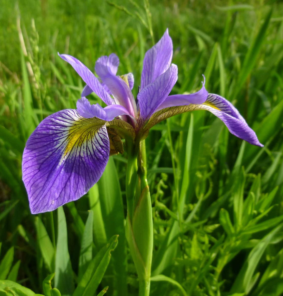 1. Blue Flag Iris