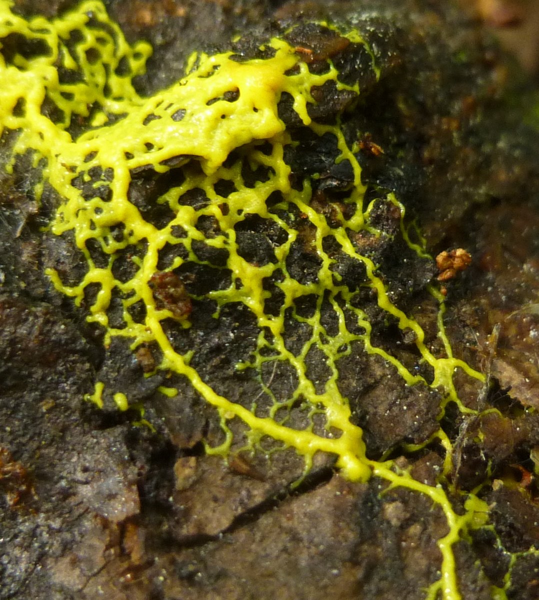 1. Yellow Slime Mold