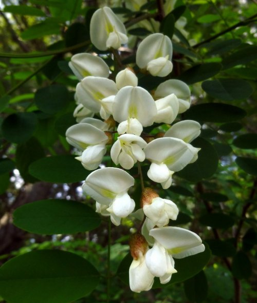 10. Black Locust Blossoms