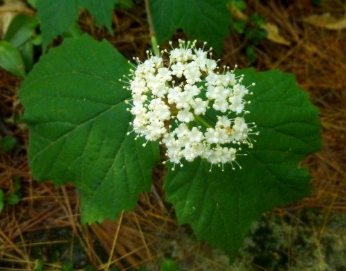 11. Maple Leaf Viburnum