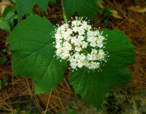 Maple Leaf Weed Leaf Maple Leaf Viburnum