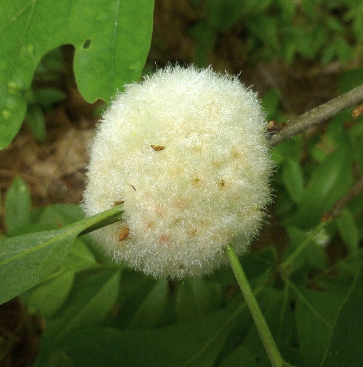 13. Wool Sower Gall Wap Gall on White Oak