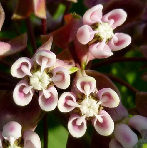 14. Milkweed Flowers