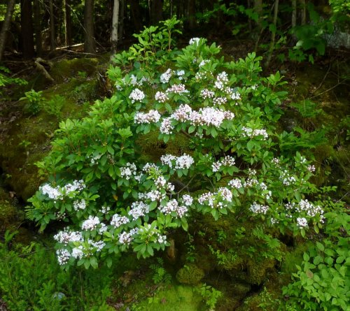 3. Mountain Laurel