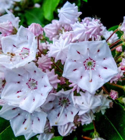 4. Mountain Laurel Front