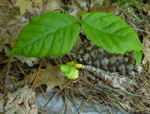 6. Beech Seedling with Seed Leaves
