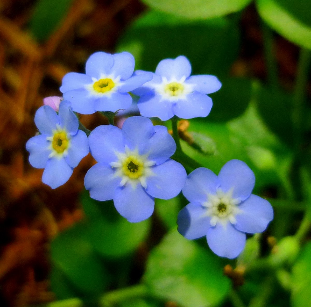6. Forget Me Nots