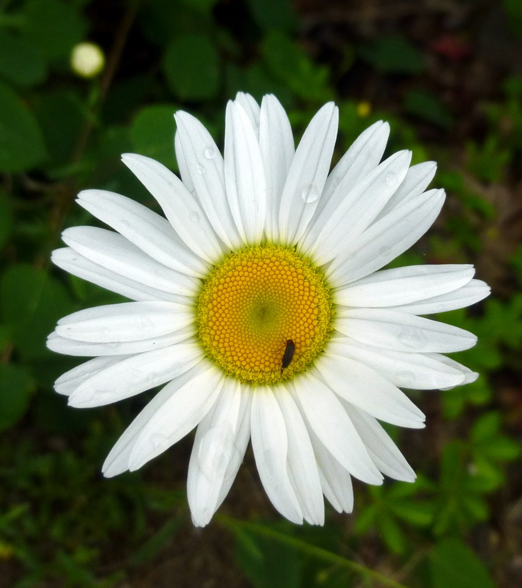 Early june flowers new hampshire garden solutions i got married in june and we couldnt afford flowers from a florist so we picked ox eye daisy blossoms leucanthemum vulgare thats when i discovered that izmirmasajfo Choice Image