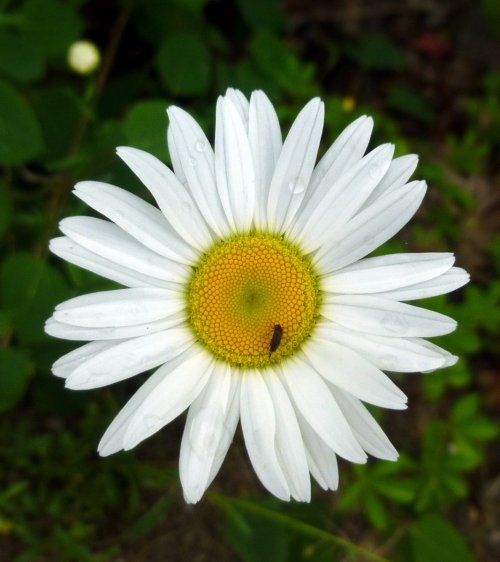 6. Ox Eye Daisy