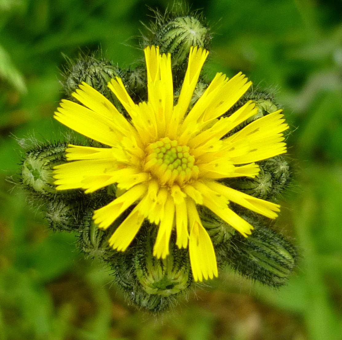 7. Yellow Hawkweed