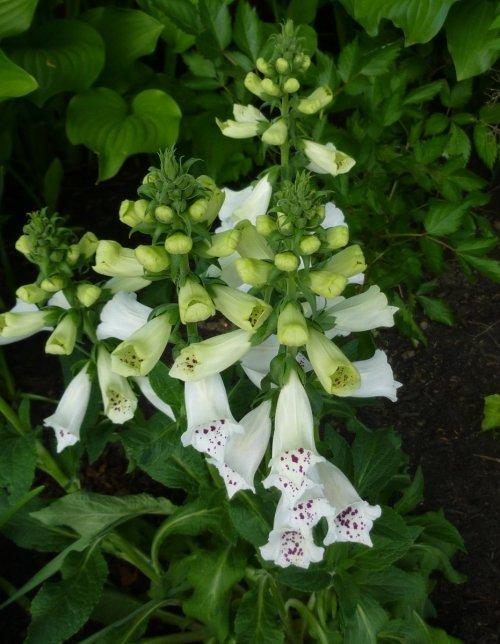 8. White Foxglove