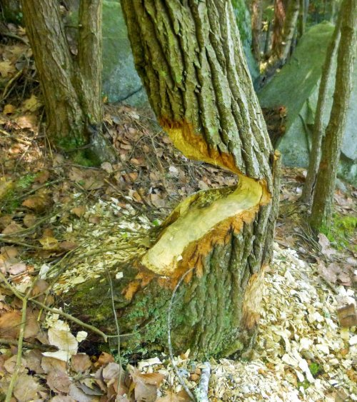 9. Beaver Tree