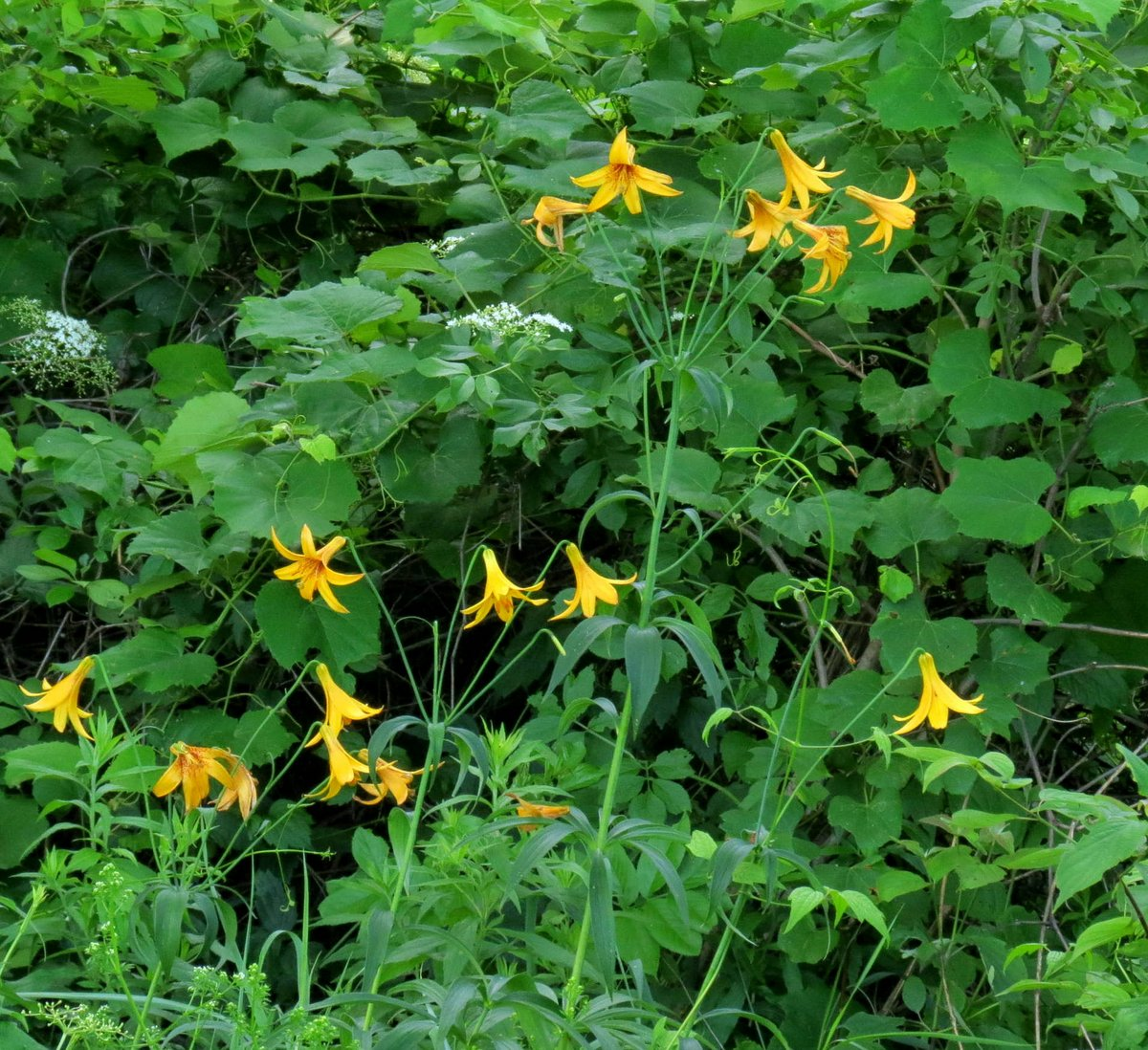 1. Canada Lilies