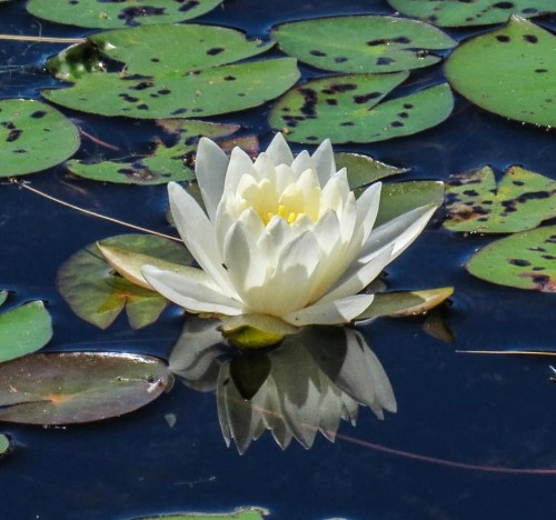 1. Fragrant White Water Lily