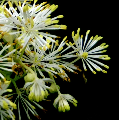 1. Tall Meadow Rue Closeup