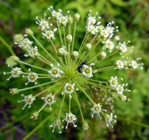 10. Bristly Sarsaparilla Flower Head