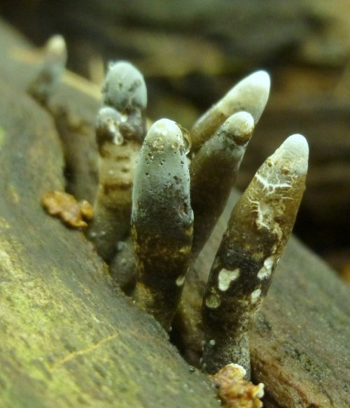 10. Dead Man's Fingers aka Xylaria polymorpha