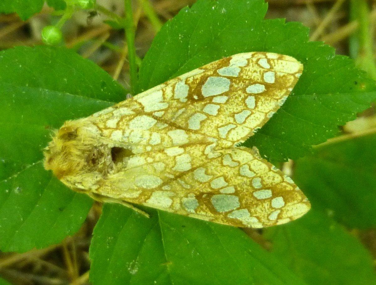 10. Lophocampa caryae aka Hickory Tussock Moth