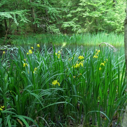 10. Yellow Irises