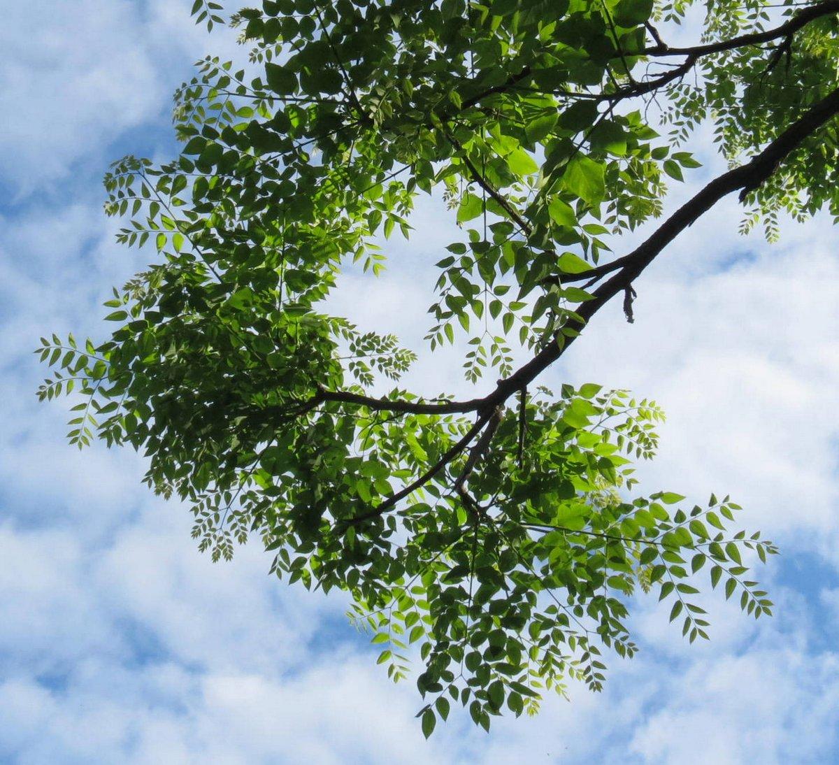 11. Black Locust leaves