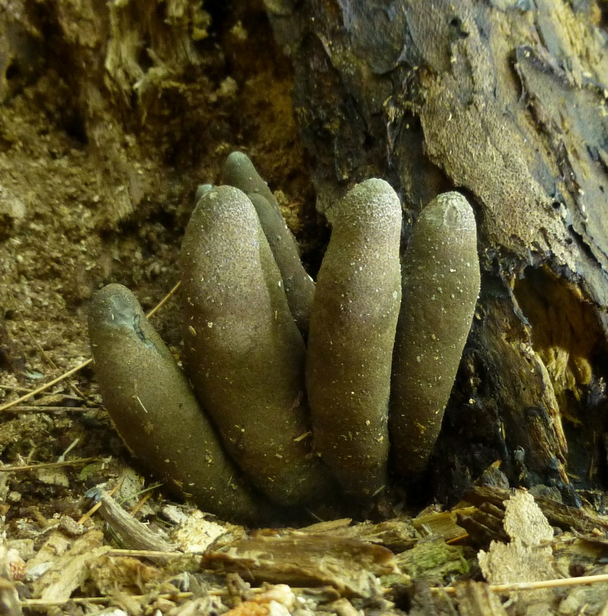 11. Dead Man's Finger aka Xylaria polymorpha