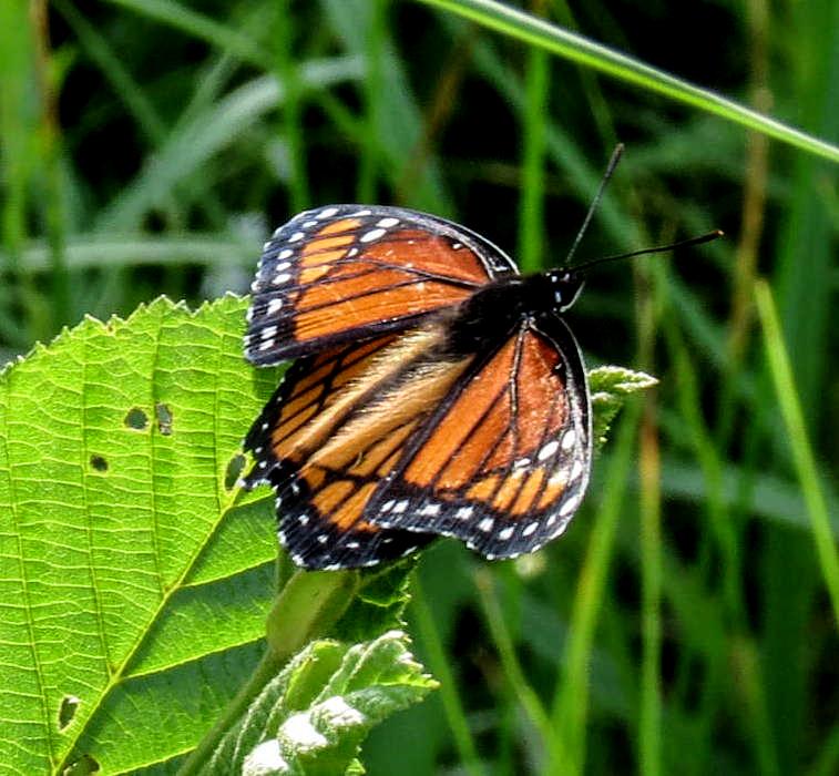 11. Viceroy Butterfly