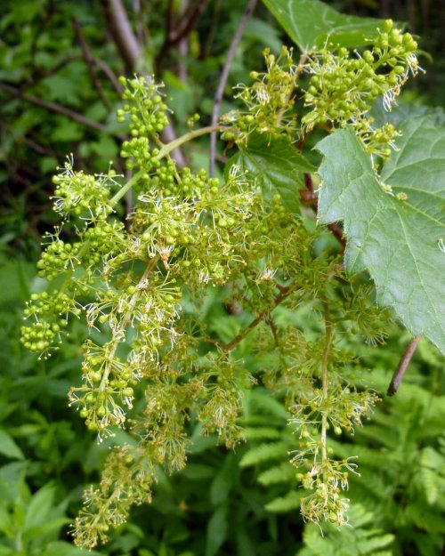 11. Wild Grape Flowers