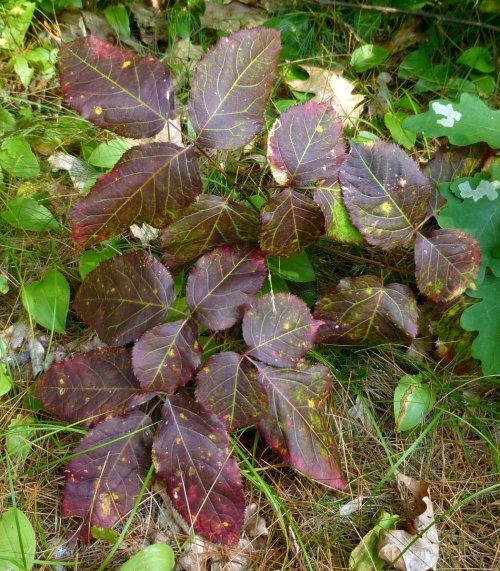 12. Wild Sarsaparilla Fall Color 2