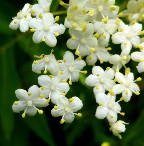 14. Elderberry Flowers