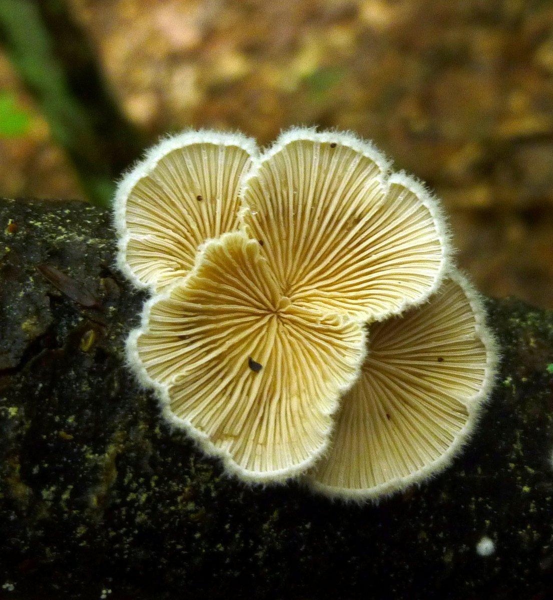 14. Splitgill Mushrooms