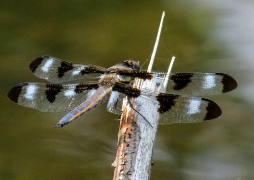 15. 12-Spotted Male Skimmer-2