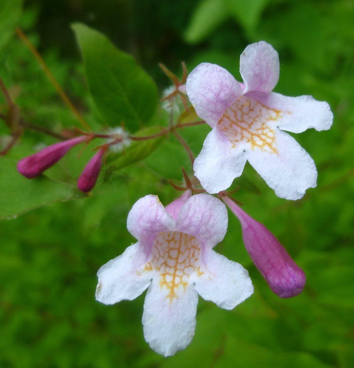 2. Beauty Bush