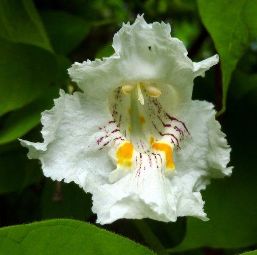 2. Catalpa Blossom