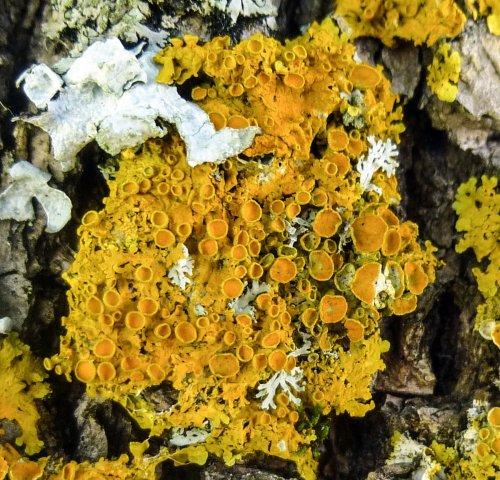 2. Poplar Starburst Lichen
