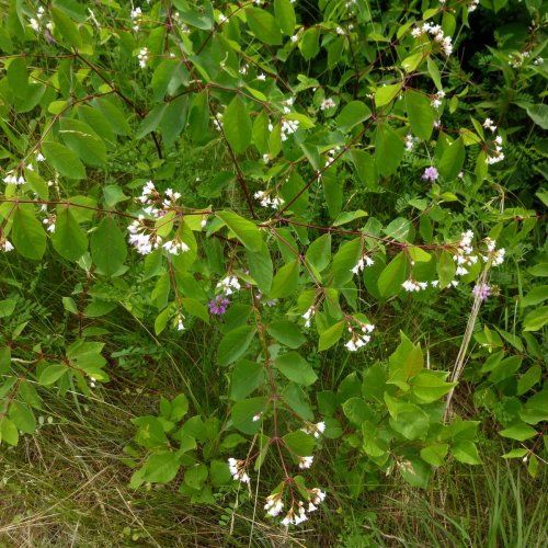 3. Dogbane Plant