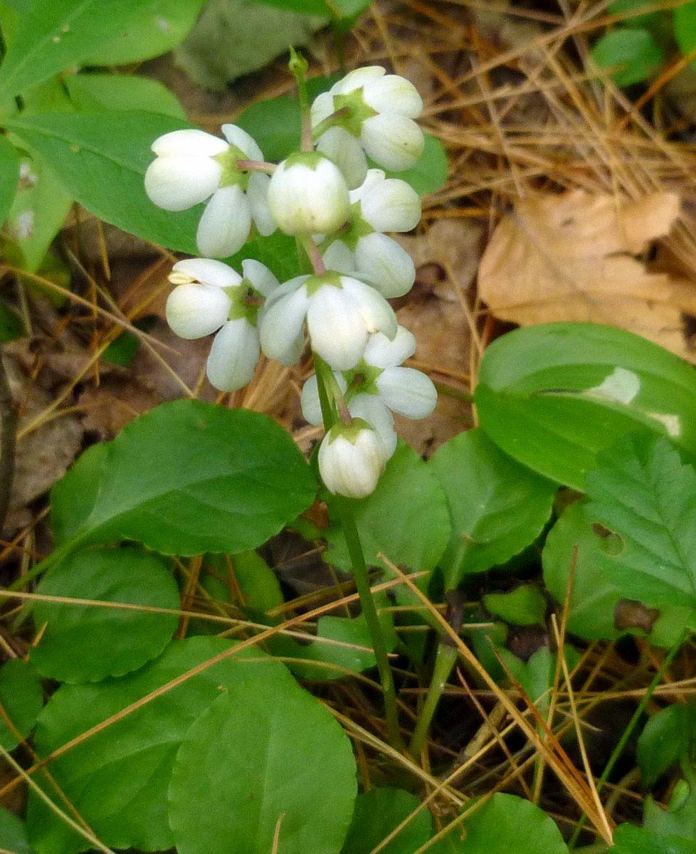3. Shinleaf Plant