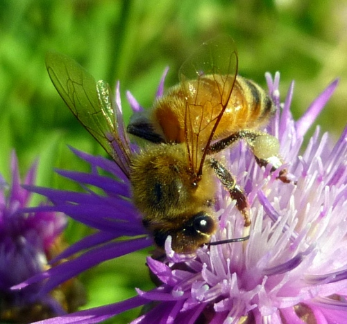 4. Bee on Knapweed