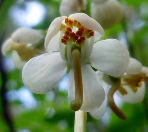 4. Shinleaf Blossom