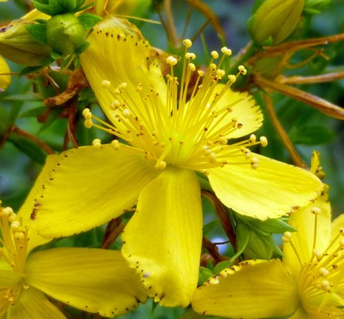 4. St. Johnswort