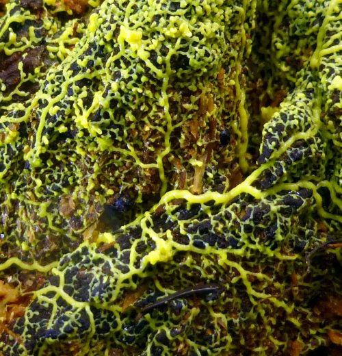 4. Yellow Many Headed Slime Mold