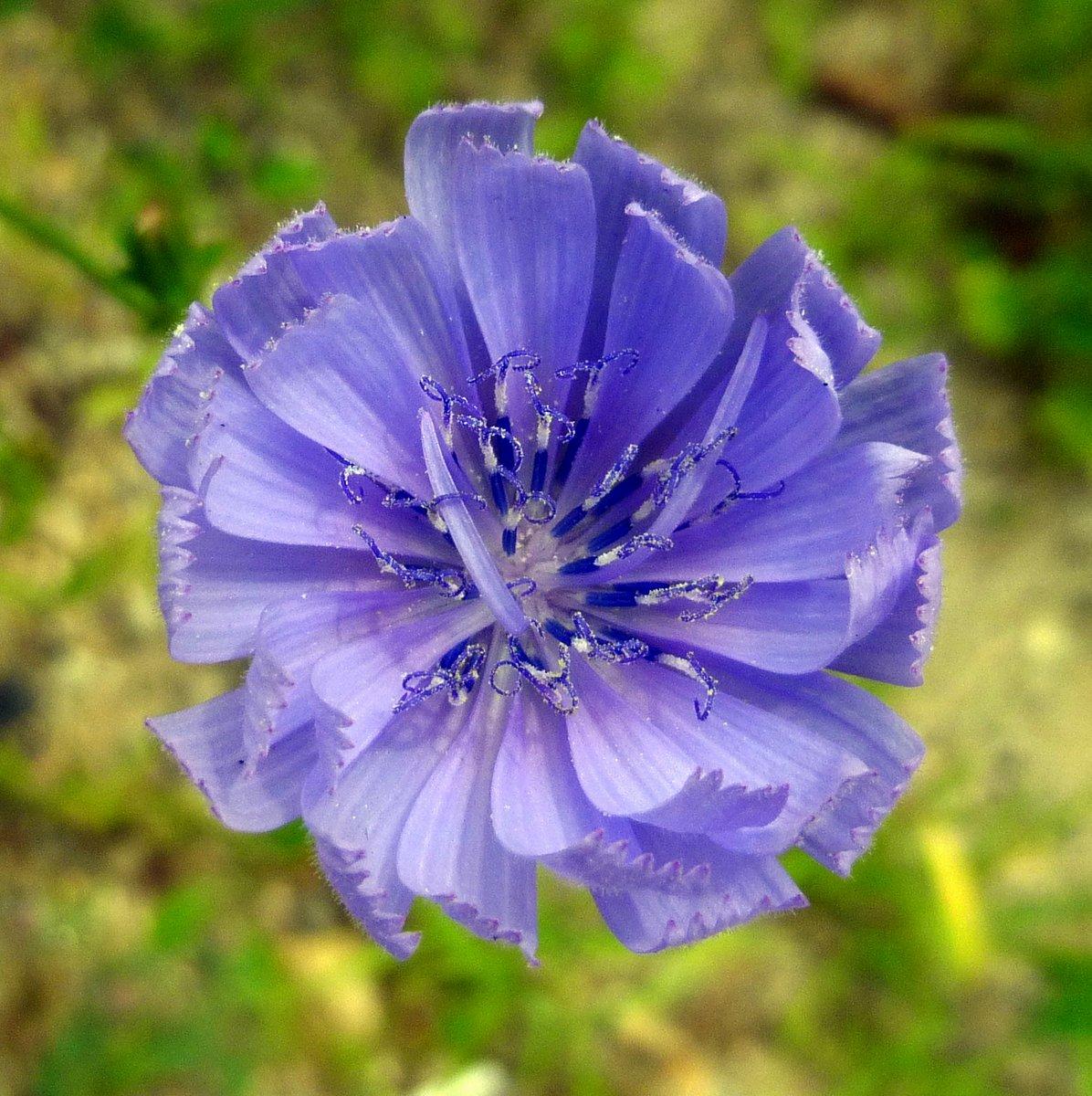 5. Chicory Blossom