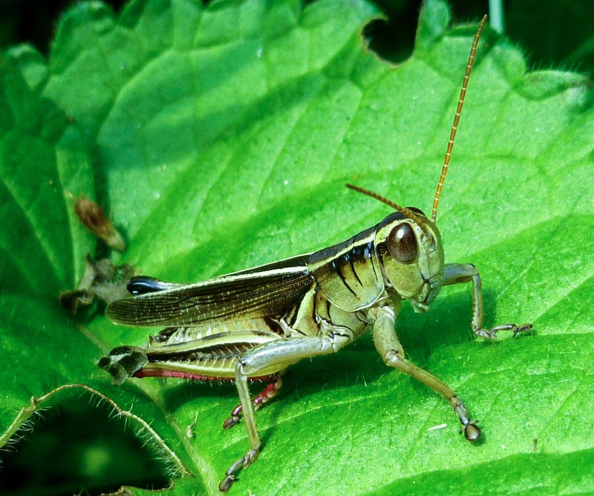 5. Grasshopper