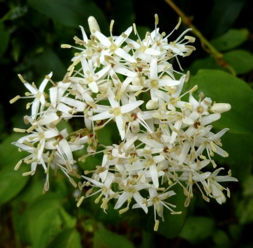 5. Gray Dogwood Blossoms aka Cornus racemosa