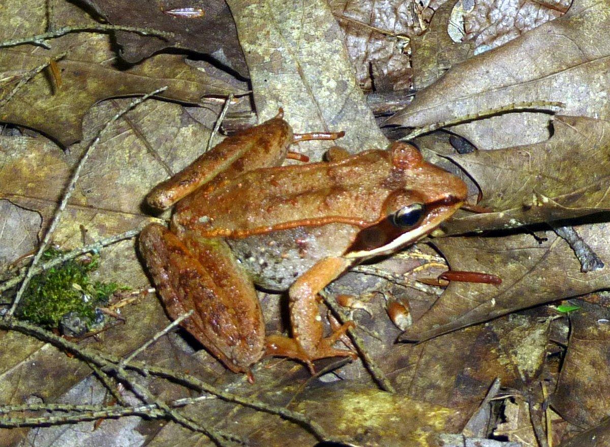 5. Wood Frog