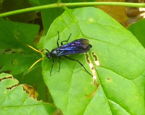 7. Blue Black Wasp