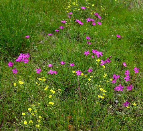 7. Pinks and Cinquefoil
