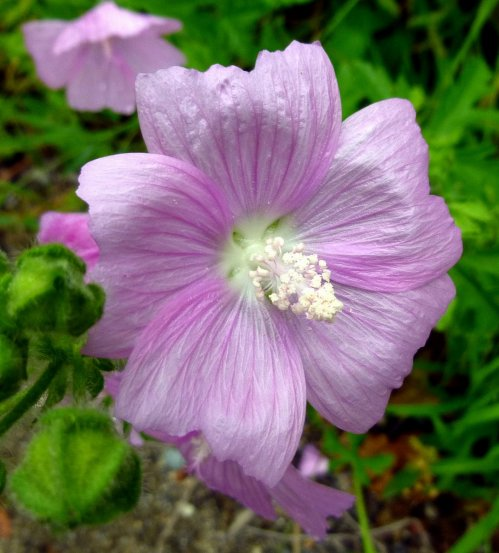7. Vervain Mallow Flower