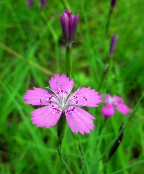 8. Maiden pink aka Dianthus deltoids