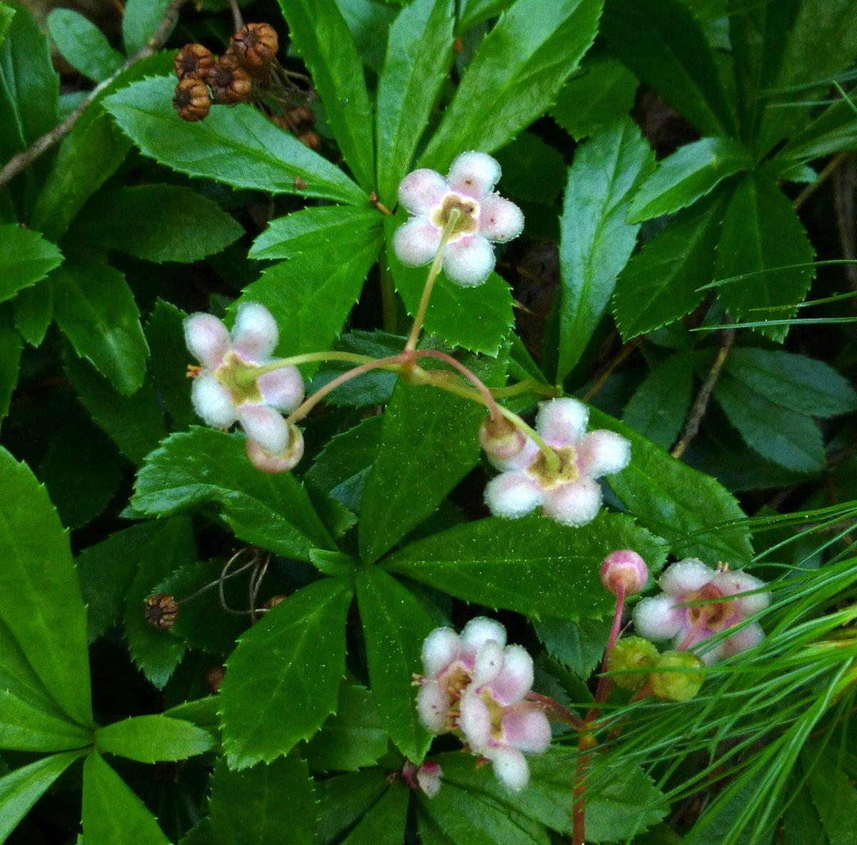 8. Pipsissewa Plant